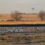 Sandhill cranes one of North America's greatest wildlife migrations