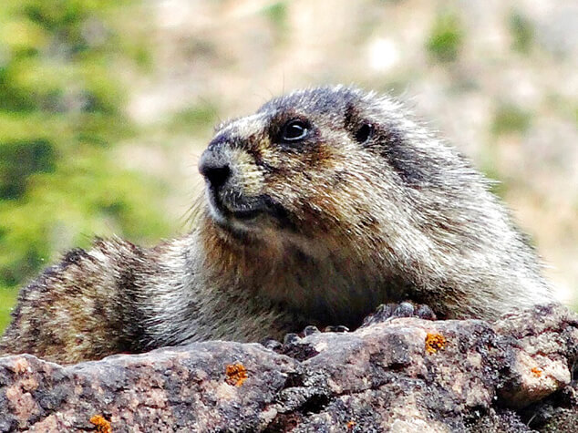 The hoary marmot is the largest of North American marmots