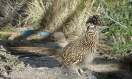 Golfers not the only roadrunners in Palm Springs