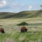 What does your mother know about bison?