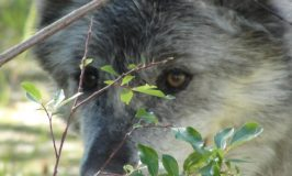 Is walking with wolves on your bucket list?