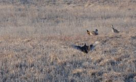 Prairie chickens reunite a Nebraska family